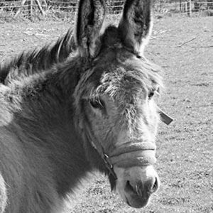 Donkey-fun-endangered